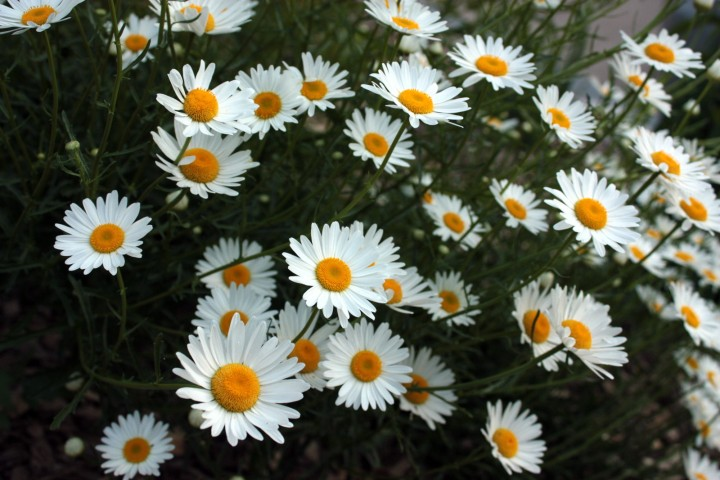 A bunch of daisies