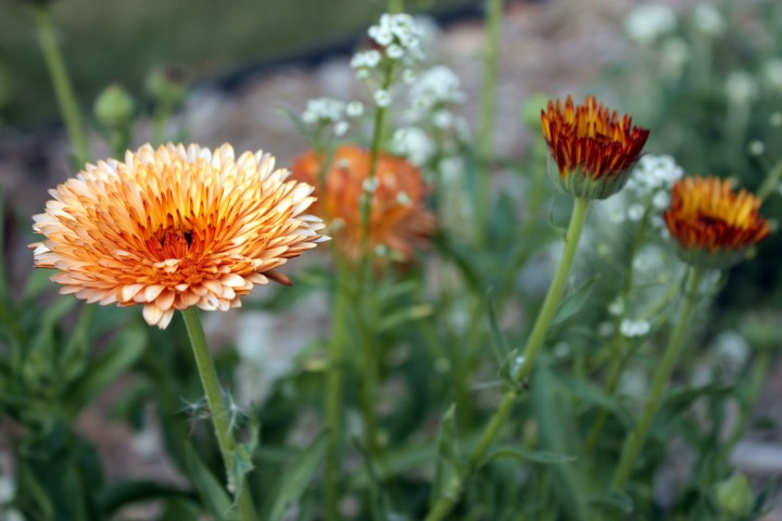 Orange flowers - possibly calendula