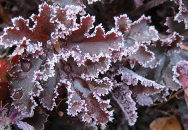 Frost around the edges of deep red coral bells leaves