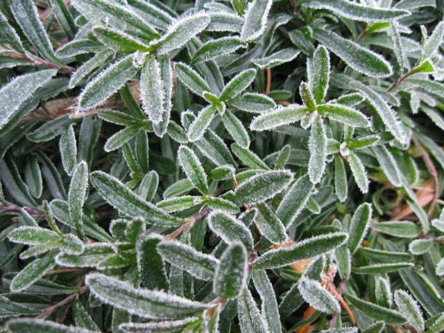 Frost on small flower leaves