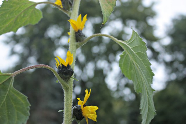 sunflower buds growing at the base of each leaf