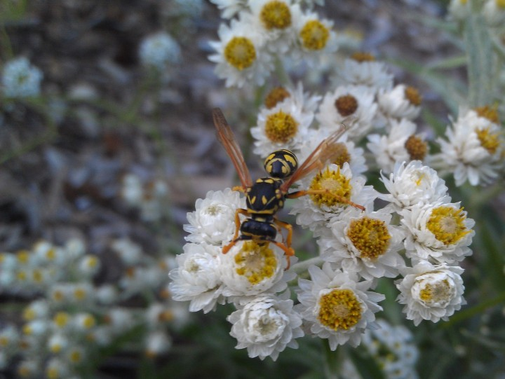 yellow jacket crawling on pearly everlasting