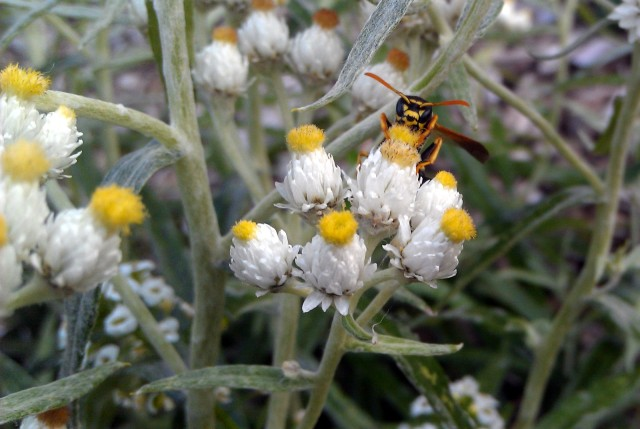 a yellow jacket head peering over pearly everlasting