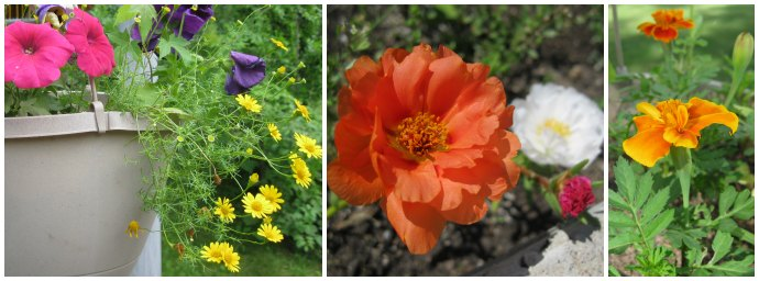 A pot with pink, purple, and yellow flowers; red cardinal climber flower vining up a trellis; orange marigold.