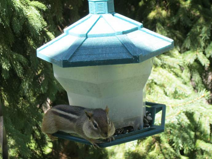A chipmunk with stuffed cheeks, sitting on the edge of a birdfeeder.
