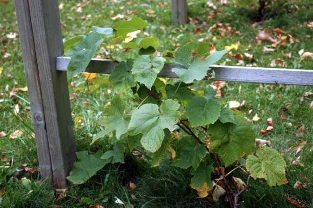 A small grape plant next to a trellis.