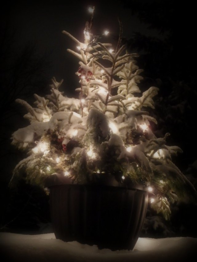 snow-covered spruce tips with red rose hips, illuminated by white string lights, in a big black pot