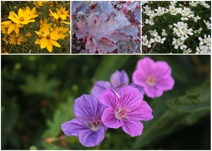 Plants growing in a garden: coreopsis, maroon coral bells, candytuft, wild geranium.