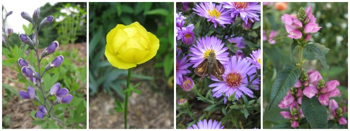 Flowers growing in a garden: indigo, a single yellow flower, New England aster, pink turtlehead.