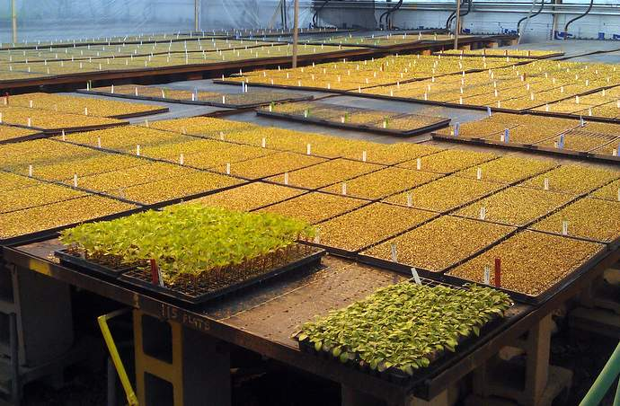 Trays and trays of seedlings in a greenhouse.