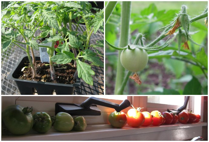 Tomato plants, small tomato growing on the plant, a row of various shades of tomatoes on a windowsill.