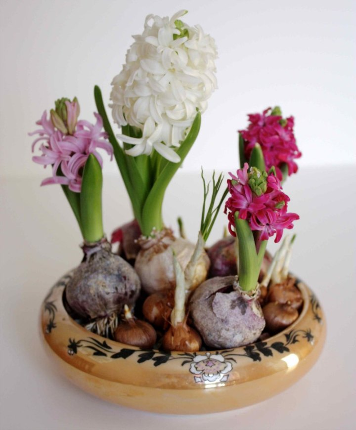 four blooming hyacinths, forced bulbs