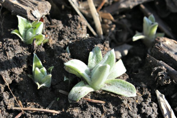 pearly everlasting shoots