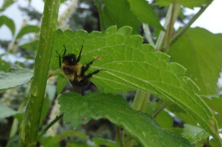 bumblebee clinging to the underside of a leaf