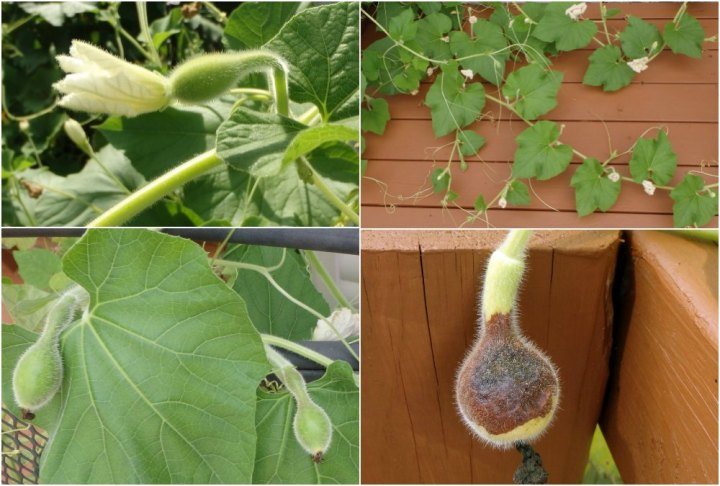 collage of four photos of birdhouse gourd buds, the last moldy