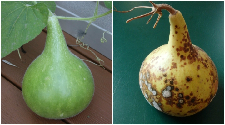 one big green gourd on the vine, then off the vine and moldy