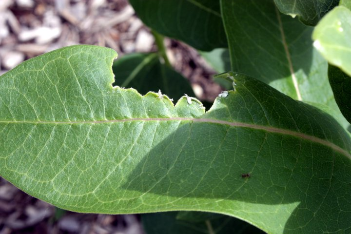 milkweed leaf with a big hole eaten from the top