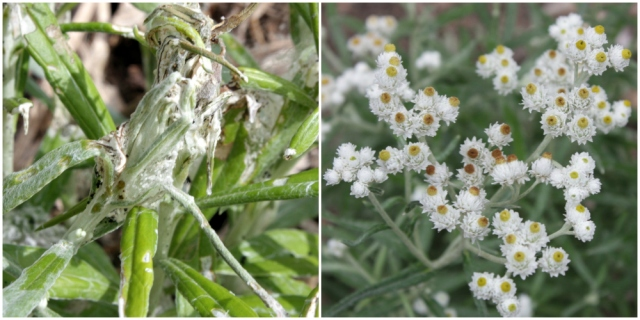 disfigured pearly everlasting leaves next to blooming flowers
