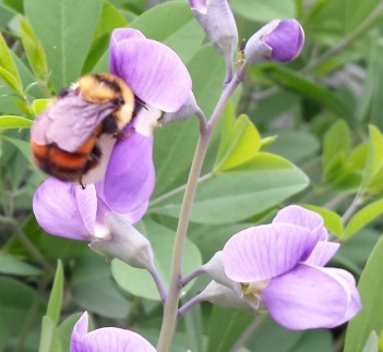 red-belted bumblebee