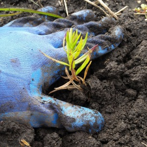 a gloved hand planting a wildflower seedling