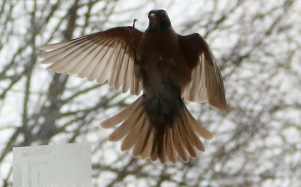 hovering in front of the window, wings bent, legs up