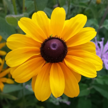 rudbeckia with short wide petals