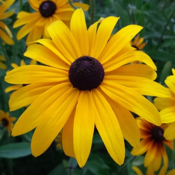 rudbeckia with long narrow petals