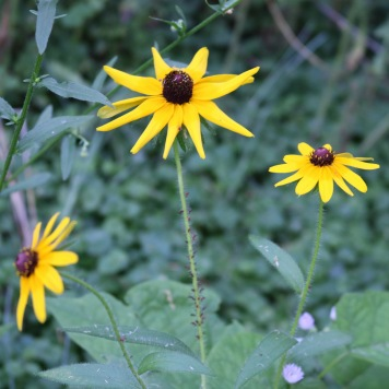 three black-eyed susans, the middle one with aphids covering the stem