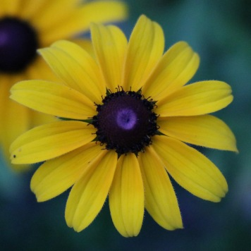 rudbeckia with medium length and width petals