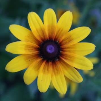 rudbeckia with a very light red center and wide petals
