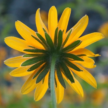 black-eyed susan viewed from below