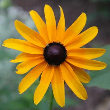 black-eyed susan, viewed from above