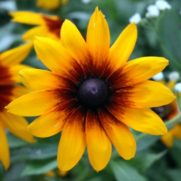 rudbeckia with a small dark red center and wide petals