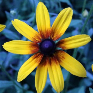 rudbeckia with a small light red center and few petals