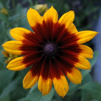 rudbeckia with a large very dark red center