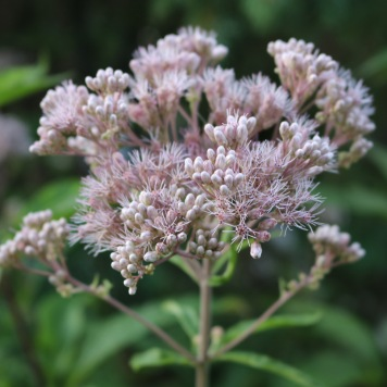 one joe-pye weed cluster, with about half of the individual flowers open and half still buds