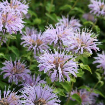 a dozen fully blooming bee balm flowers, close together