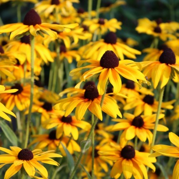 about two dozen black-eyed susan flowers in the evening sun