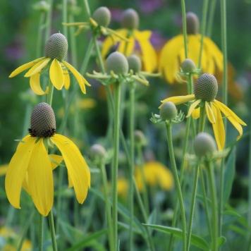 yellow coneflower, half buds, half flowering