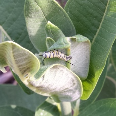 Medium-sized monarch caterpillar crawling around a common milkweed plant.