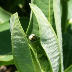 The head of a monarch caterpillar peeking out from behind a common milkweed leaf.