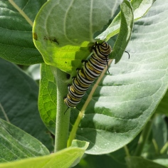 Large monarch caterpillar underneath a common milkweed leaf.