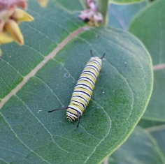 Large monarch caterpillar resting on the top of a common milkweed leaf.