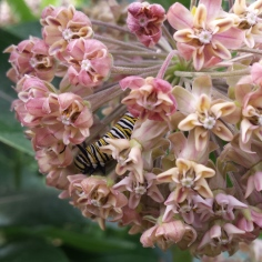 Monarch caterpillar inside a common milkweed blossom, eating the flowers.