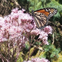 Monarch butterfly with its proboscis in a joe-pye weed blossom.