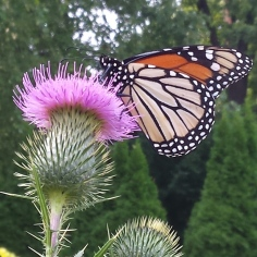 Monarch butterfly sitting on the blossom of a large thistle.