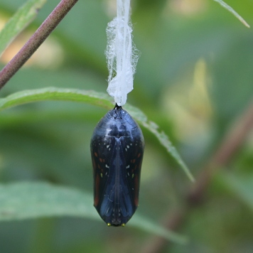 Back view of a monarch chrysalis that is nearly ready to open, none of the gold band visible.