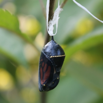 Side view of a monarch chrysalis about to open, orange-and-black wing clearly visible inside, gold band on the right side.