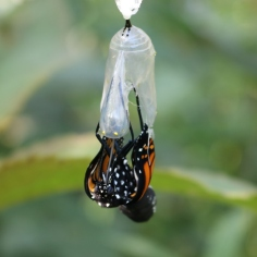 Monarch butterfly the moment I noticed it emerging from its chrysalis, feet still inside.