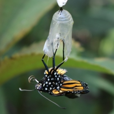 Monarch butterfly emerging from its chrysalis, proboscis still in two pieces but curled up.